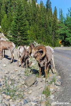 Bighorn Schafe