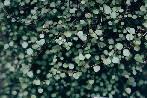 Light green ground cover foliage