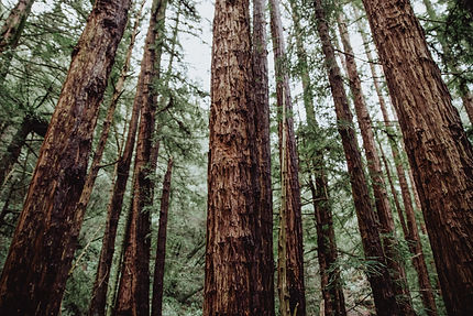 View from below of tall trees in the woods