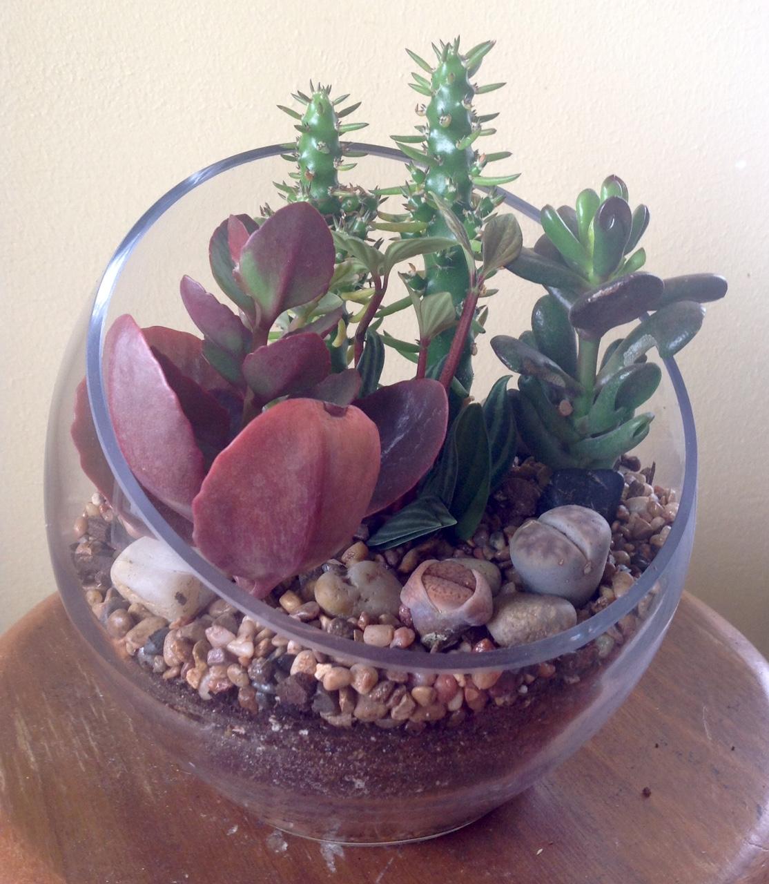 succulent terr w lithops