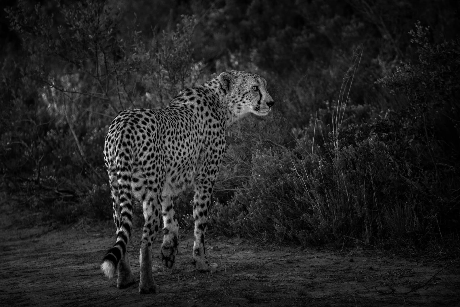 MONO - Cheetah by Alan Hillen (14 marks)
