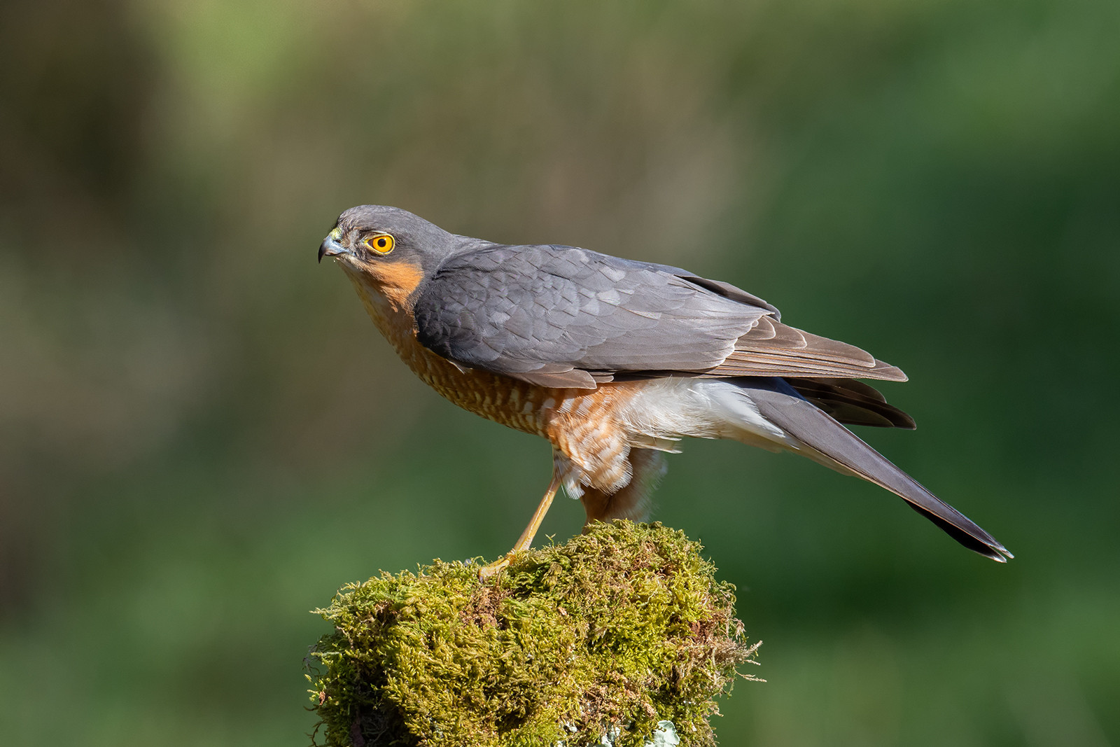 PDI - Male Sparrowhawk by Ted McKee (13 marks)