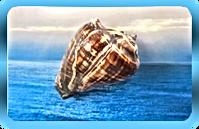 Pacific Crown Chakra Conch