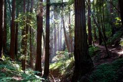 California // Muir Woods