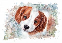 Cavalier/Brittany Spaniel puppy