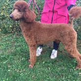 Father of the Standard Poodles