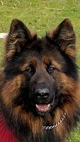 German Shepherds Pups for sale
