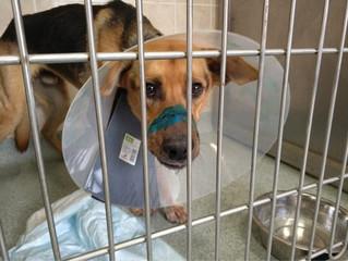 В клинике MAXIMA VET сделана пластическая операция собаке