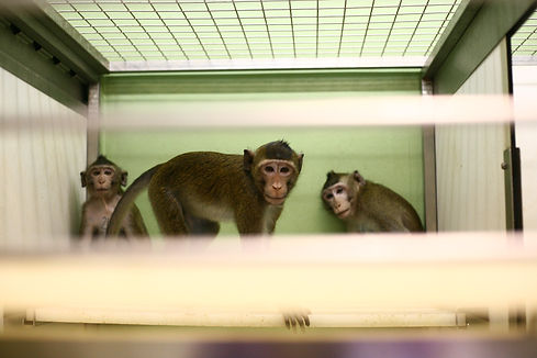 macaque-trio-climbs-to-top-of-cage.jpg
