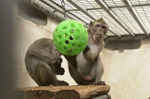 Macaques-green-ball-300x197.jpg
