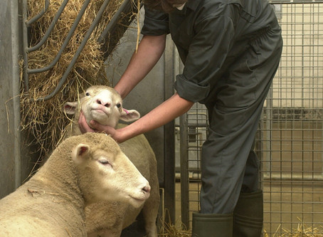 'Bionic spine' tested in sheep