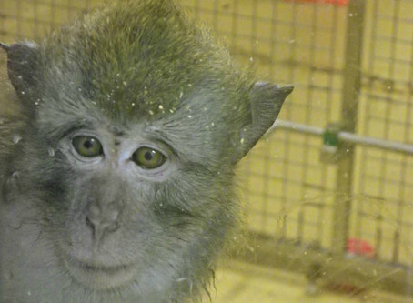Australian Senate rejects bill to ban the importation of non-human primates