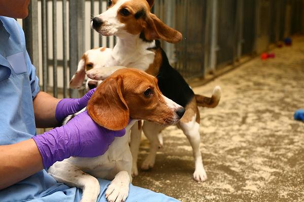 Beagles in a research facility with animal technician caretaker