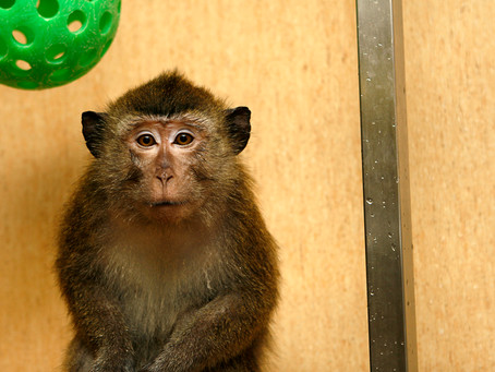 Dutch Parliament backs primate research