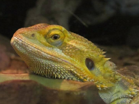 Animal Spotlight: Bearded Dragon