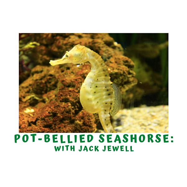 Marine Week- Potbelly Seahorses with Jack Jewell