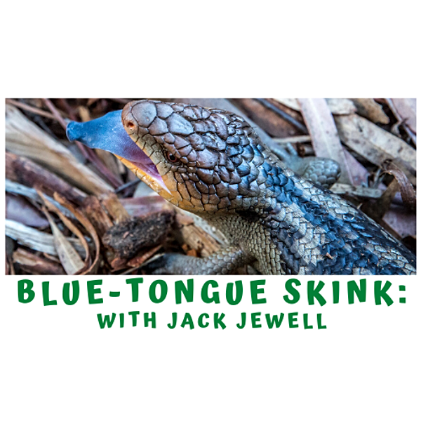 The Blue Tongue Skink