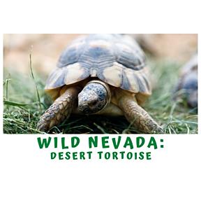 A Quick Minute in Wild Nevada- The Desert Tortoise
