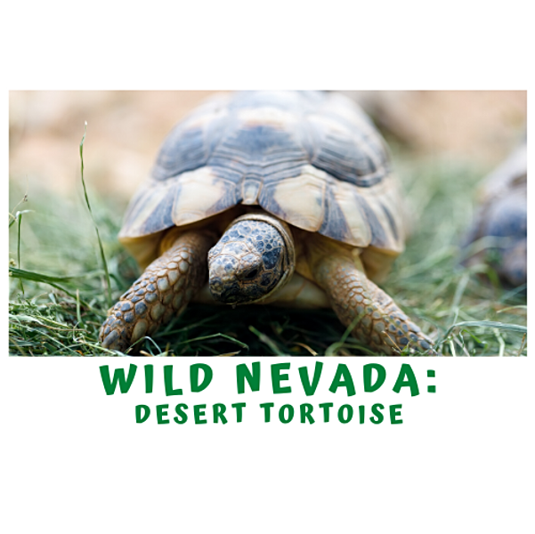 A Quick Minute in Wild Nevada- The Desert Tortoise