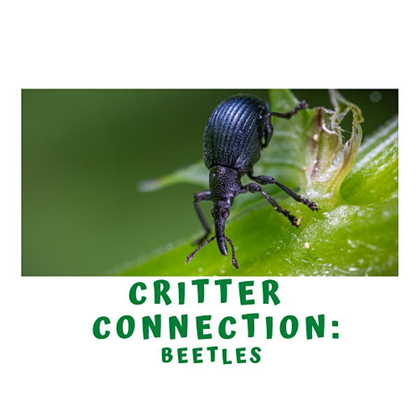 Critter Connection- All About Beetles