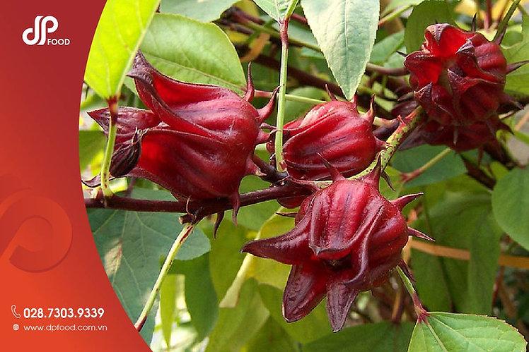 Hoa-hibiscus-la-mot-loai-thao-duoc