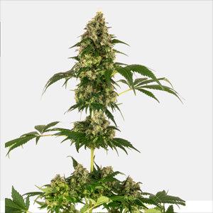 Cobalt Haze Feminized Cannabis Seeds