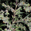 Dr_Grinspoon_Feminised_Seeds.png