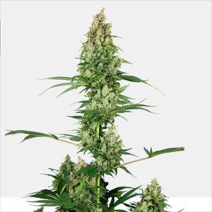 Silver Fire Feminized Cannabis Seeds