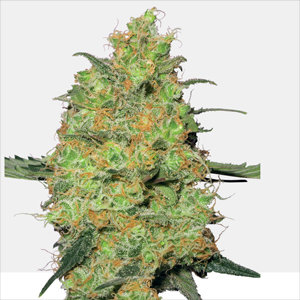 Master Kush Feminized Cannabis Seeds by White Label