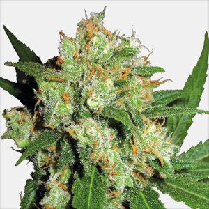 Sensi Skunk Feminized Cannabis Seeds