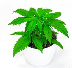 cannabis_clones.png