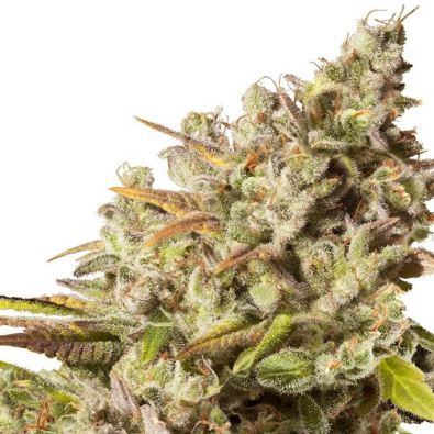 Royal Gorilla - Cannabis Strain
