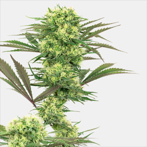 Guava Jelly Feminized Cannabis Seeds by White Label