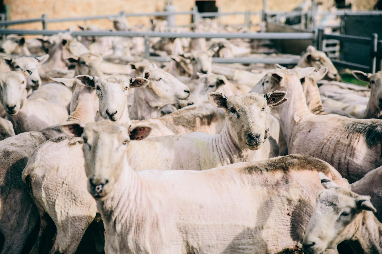 South East Shearing-40