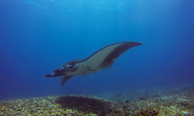 raie manta - manta ray