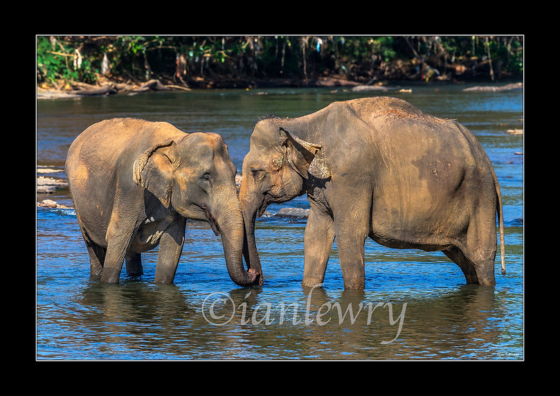 SRI LANKA - ELEPHANTS A3 PRINT 222112432