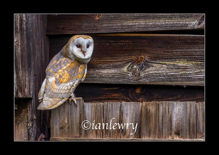 BARN OWL A3 SPEEDFRAME PRINT 00112132111