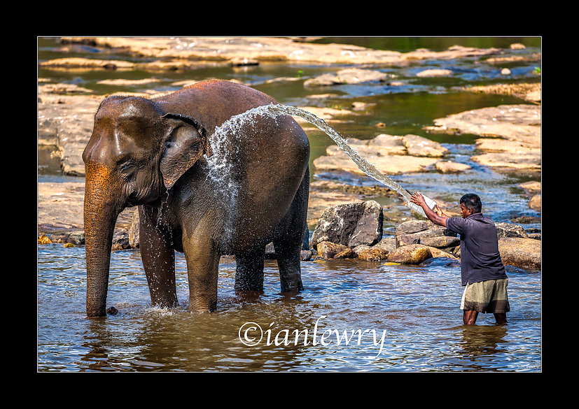 ELEPHANT PINAWELLA A2 55479SR2.jpg