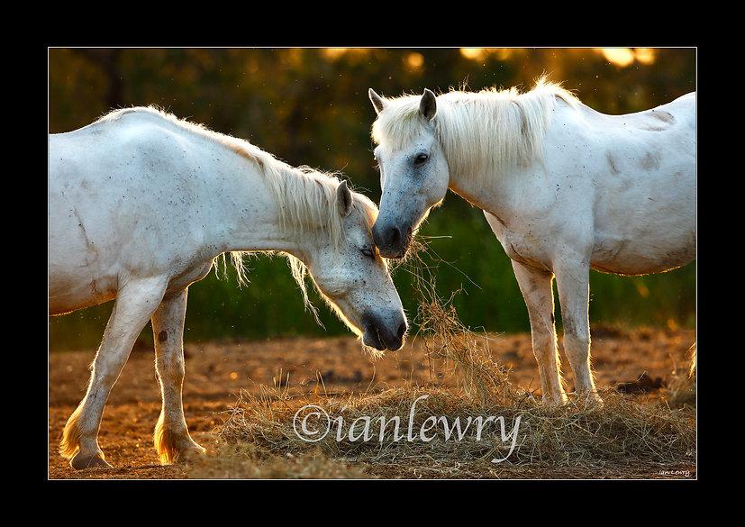CAMARGUE HORSES A PRINT 21223950FRCM4.jp