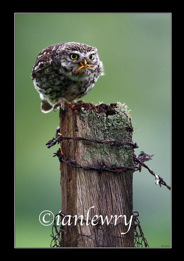LITTLE OWL A3 PRINT WITH BLACK BORDER 21