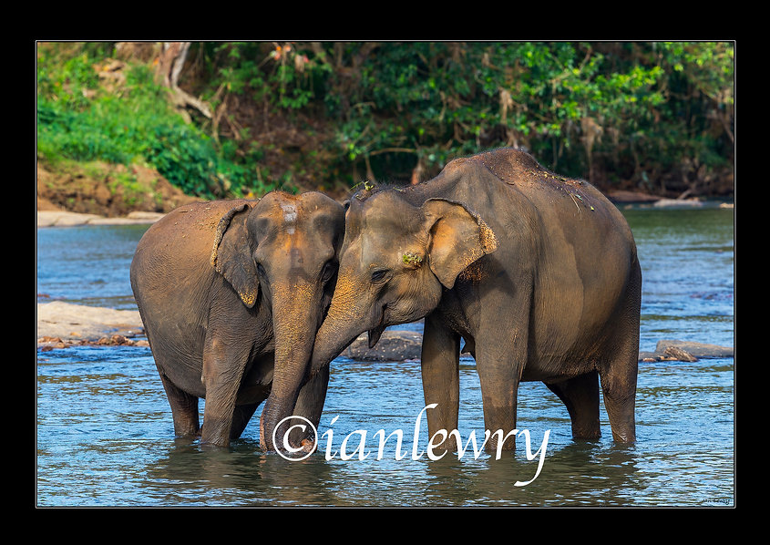 SRI LANKA - webpage ELEPHANTS PRINT 2222