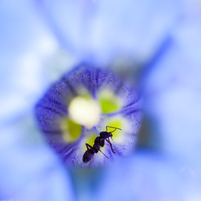 La fourmi et la gentiane.