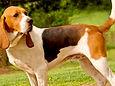 chien de chasse.jpg