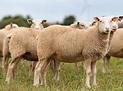 mouton2.PNG