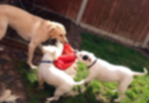 dogs all playing with bouncey hopper in the garden.