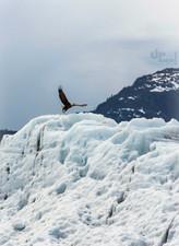 Alaska: König der Lüfte