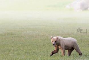 Alaska: Grizzlydame nach der Verpaarung