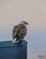 Alaska: Da sitzt ein Adler auf dem Dach