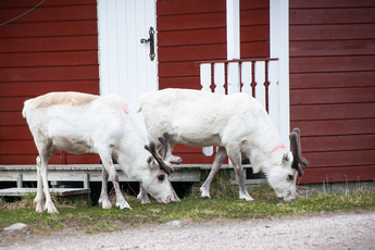Norwegen: Besuch vor der Hütte