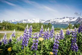 Alaska: Emigranten-Blumen